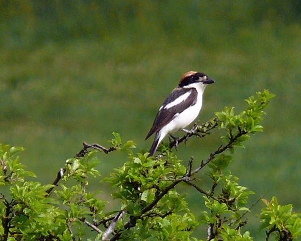 Rotkopfwürger (Lanius senator) - Wappenvogel des OBS