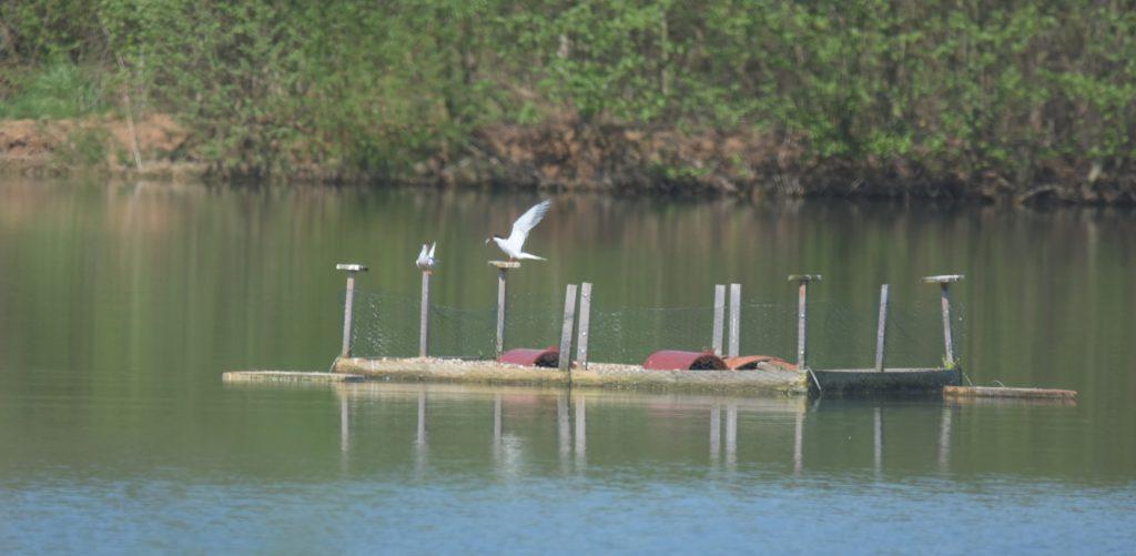 Flussseschwalben (Sterna hirundo) auf Brutfloß bei der Balz